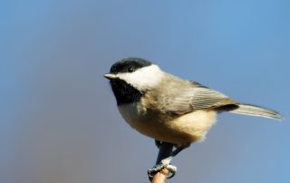 image of chickadee