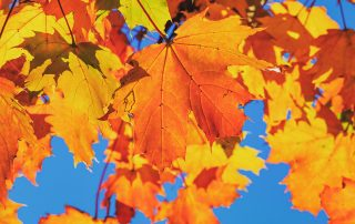 image of sugar maple leaves