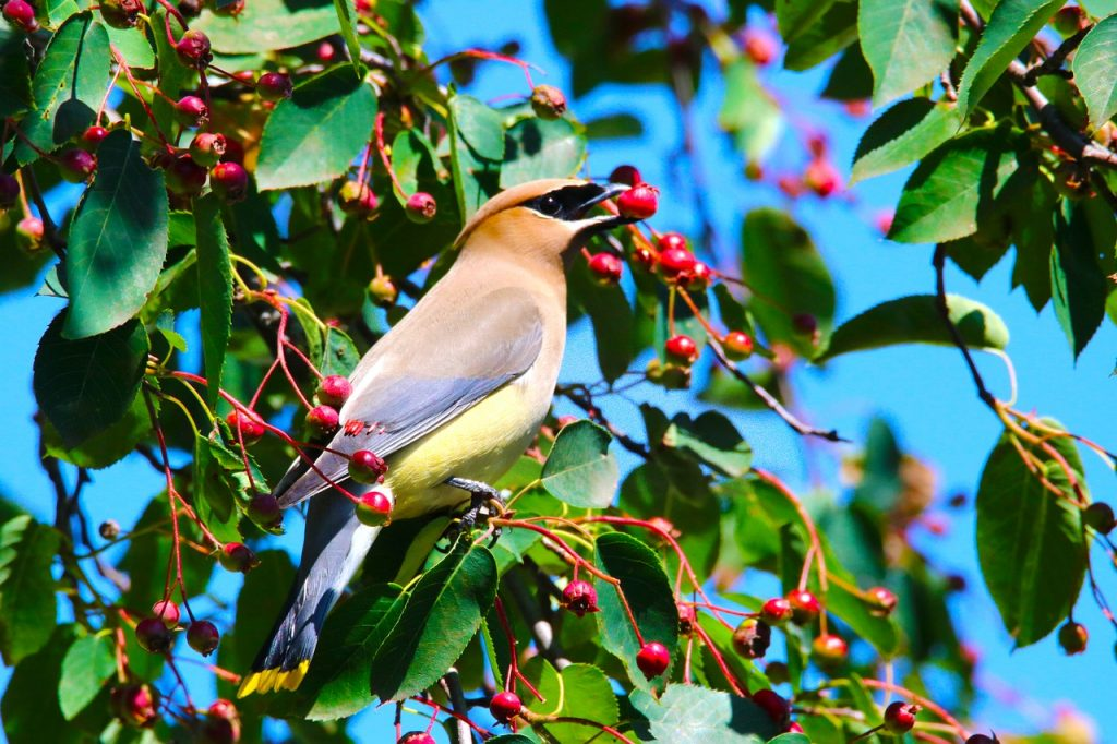 image of cedar waxwing eating serviceberries