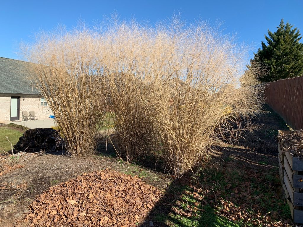 image of switchgrass screen in winter