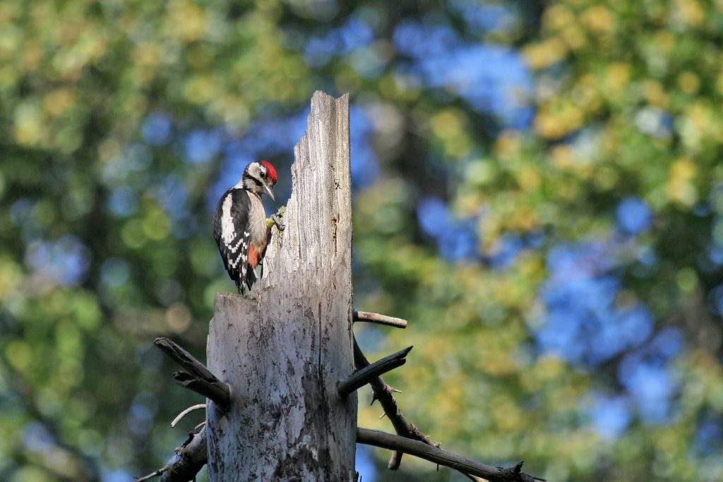 image of woodpecker in dead tree