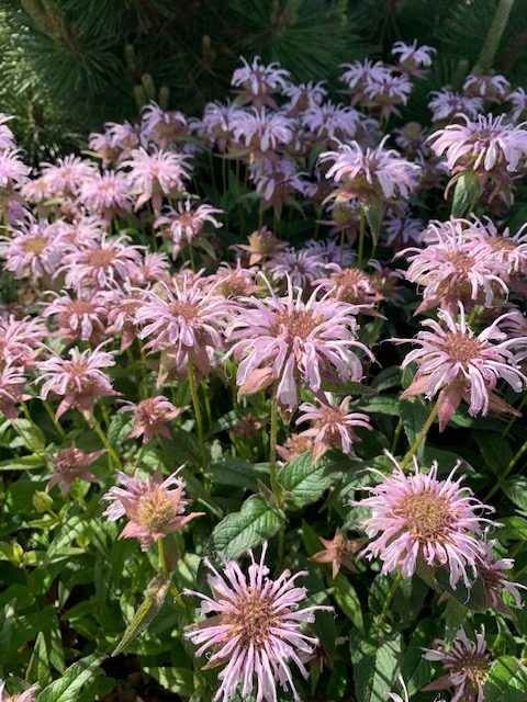 image of bradbury's monarda flowers in bloom