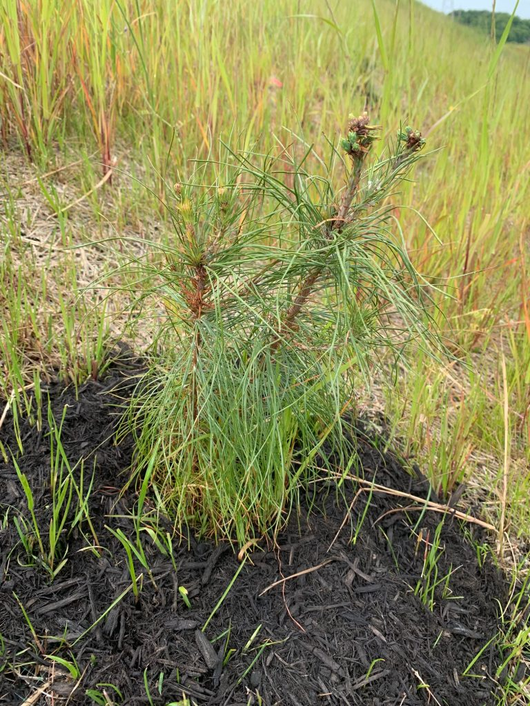 image of pine seedling