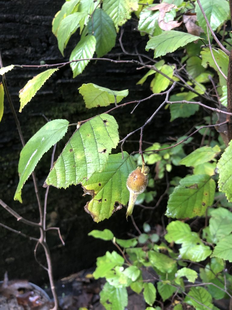 image of beaked hazelnut