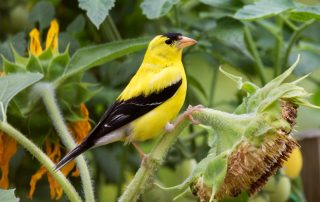 image of goldfinch on sunflower