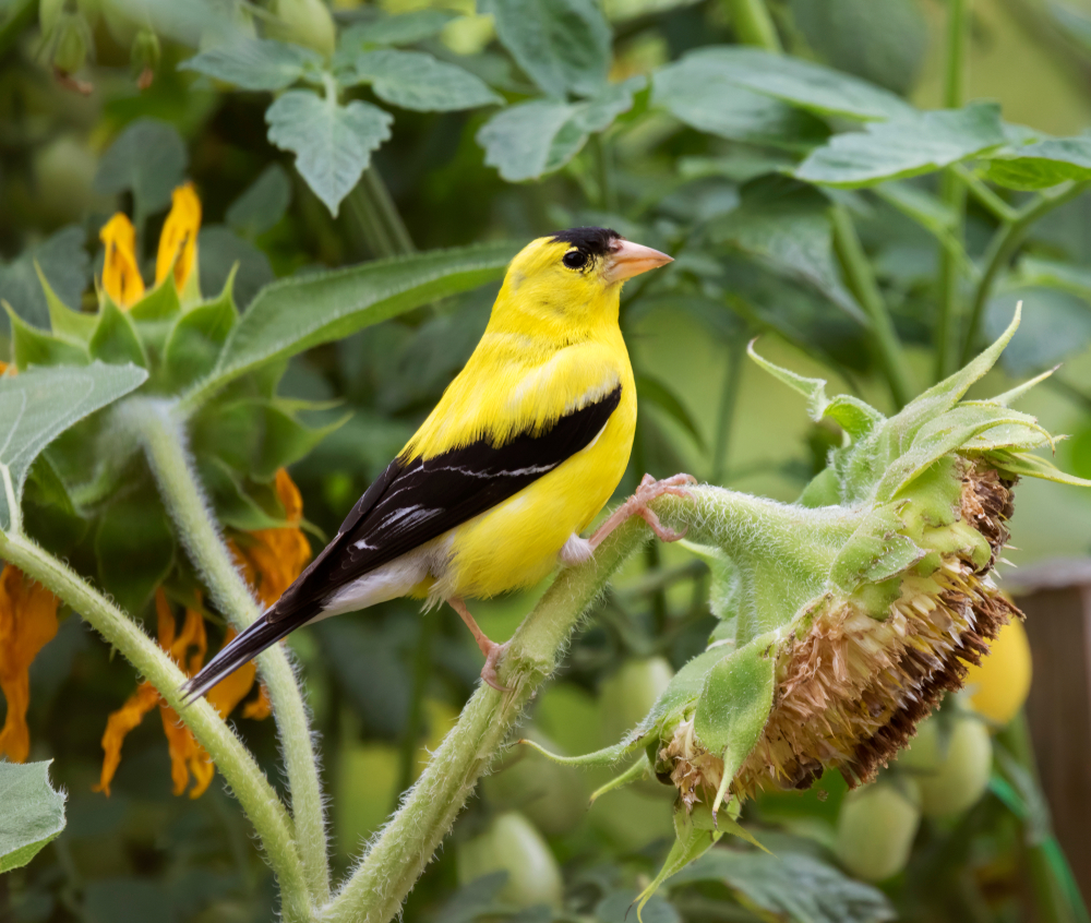 Plan for a Goldfinch-Friendly Yard