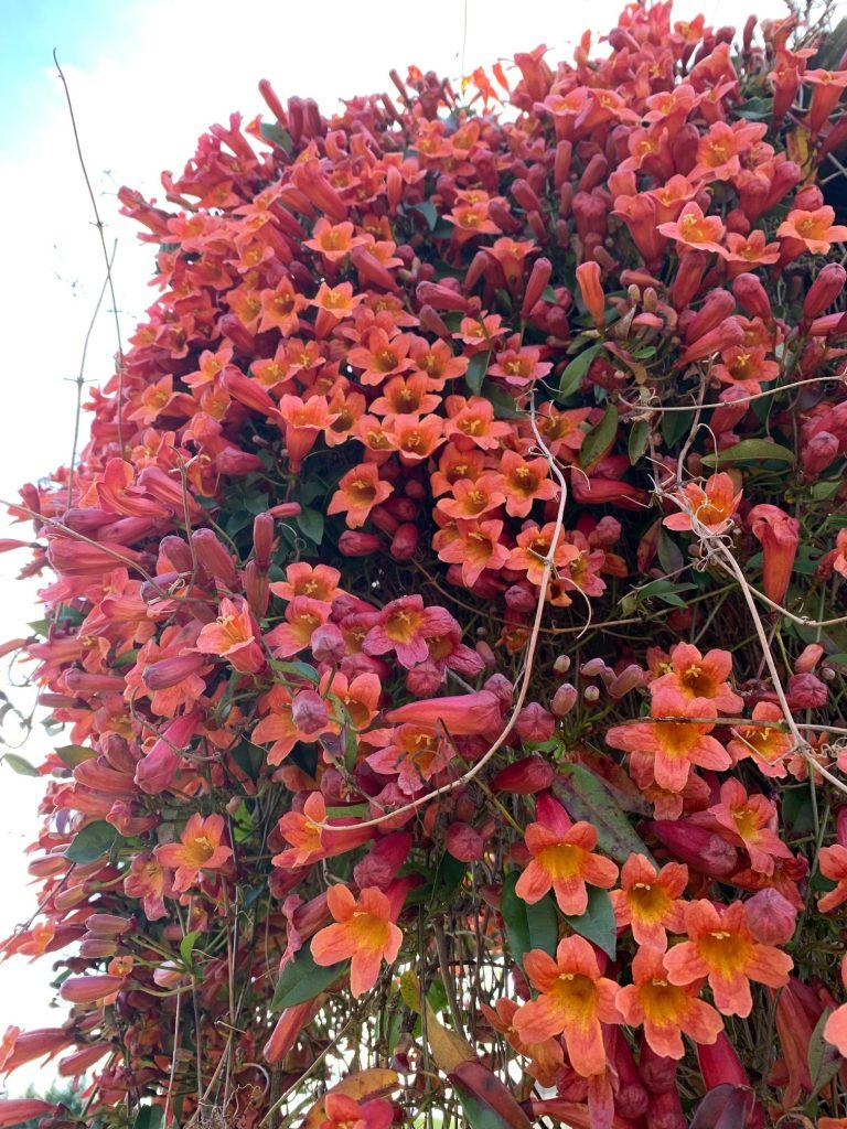 Closeup of crossvine blooms